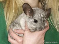 Chinchilla Winnifred